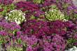 canvas print picture - chrysanthèmes