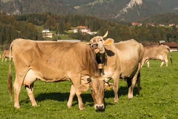 Kühe im Allgäu auf einer grünen Wiese