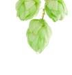 beautiful hop