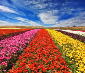 """Field of """"Ranunculus Bloomingdale"""""""
