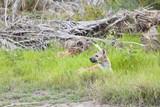 Hiding Hyena in Kenya