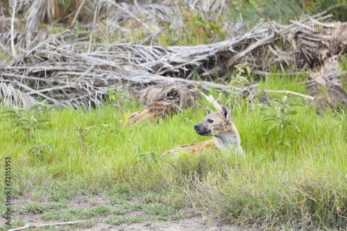 Tuinposter Hyena Hiding Hyena in Kenya