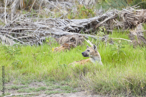 Fotobehang Hyena Hiding Hyena in Kenya