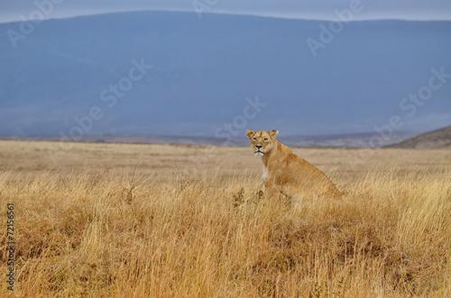 Fotobehang Overige Lonely lioness