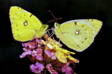 Clouded Yellow Pair