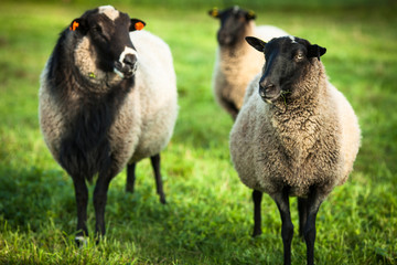 Farm animals: black-head sheeps grazing on a pasture