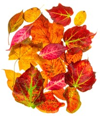 A selection of back lit autumn fall leaves on a white background