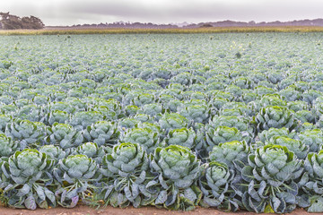 Field of Brussels Sprouts plants (Brassica oleracea)