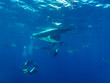 Caribbean reef sharks (Carcharhinus perezi) and scuba-divers