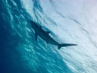 Silky shark (Carcharhinus falciformis) underwater