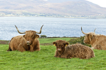 Highland cattle  mother and calf