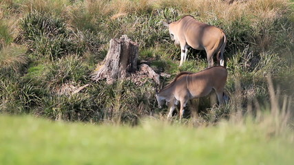 Eland Antelope grazing by river