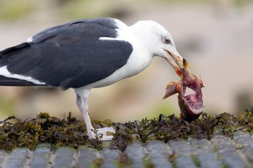Seagull eating fish meat