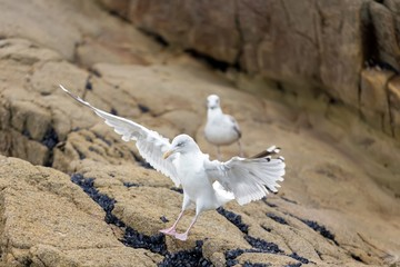 Seagull landing on rock