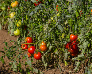 Row of tomato plants in the field