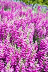 Field of pink snapdragon flowers