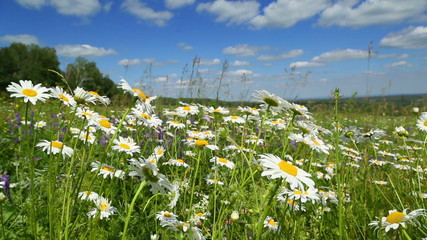 daisies on a meadow under blue sky