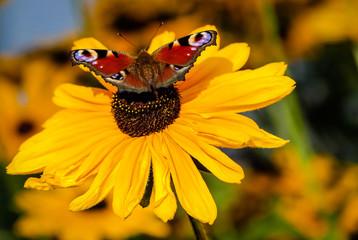 Wunderschöner roter Schmetterling auf gelben Sonnenhut