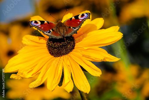 canvas print picture Wunderschöner roter Schmetterling auf gelben Sonnenhut