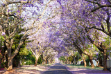 Jacaranda tree-lined street in South Africa's capital city