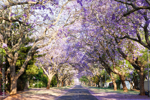 Canvas Zuid Afrika Jacaranda tree-lined street in South Africa's capital city