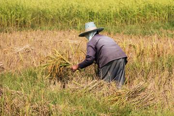 Reis ernten