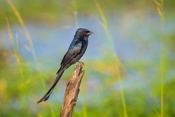 Portrait of Black Drongo(Dicrurus macrocercus)