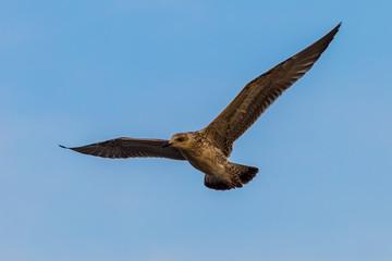 Heuglin's Gull (Larus heuglini) flying in nature