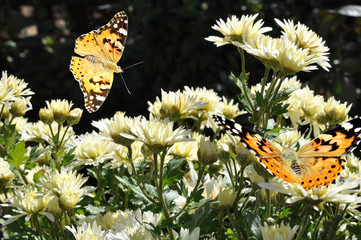 butterfly on white chrysanthemum