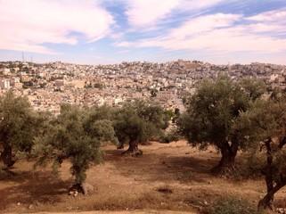 old olives in Hebron, Palestine