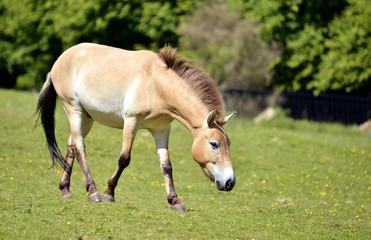 Przewalski horse walking