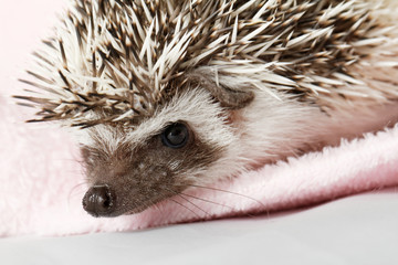 African white- bellied hedgehog