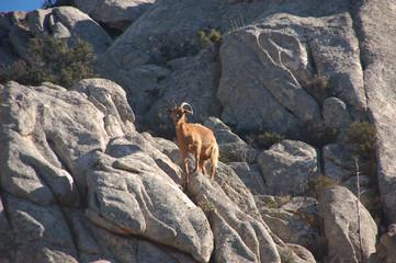 capre selvatiche dell'isola di caprera