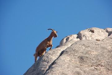 capre selvatiche dell'isola di caprera 3