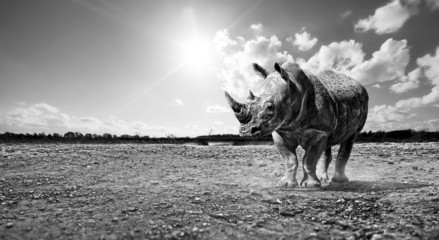 rhino black and white