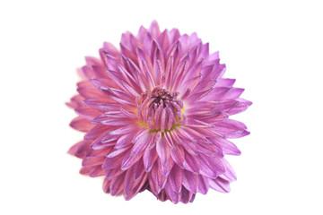Пурпурная хризантема