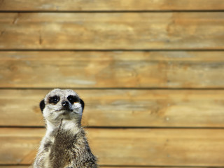 Meerkat background
