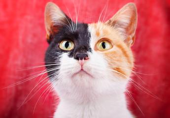 Amusing Calico Cat