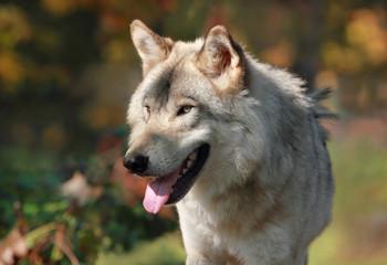 loup en automne