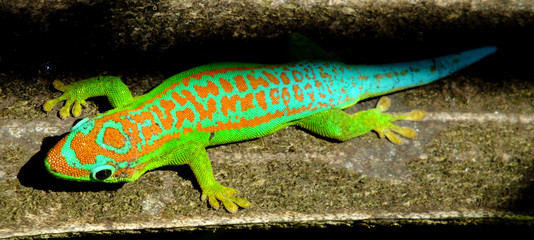 Colorful turquoise green gecko