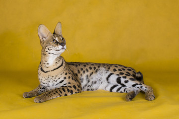 female serval on yellow isolated background
