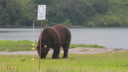 Gently brown bear.