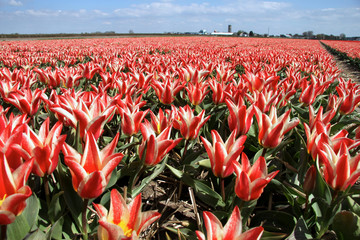 Field of two tone tulips at the Keukenhof in The Netherlands