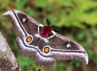 The Suraka Silk Moth (Antherina suraka) in Ranomafana national p