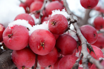 branch with apples in the snow