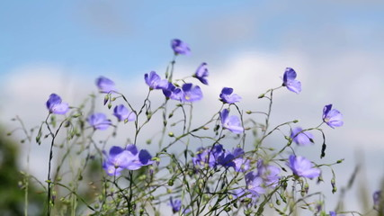 Wild flowers in the wind Asian Flax (Linum austriacum)