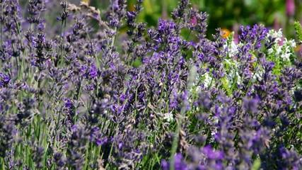 Lavendelfeld vid 22