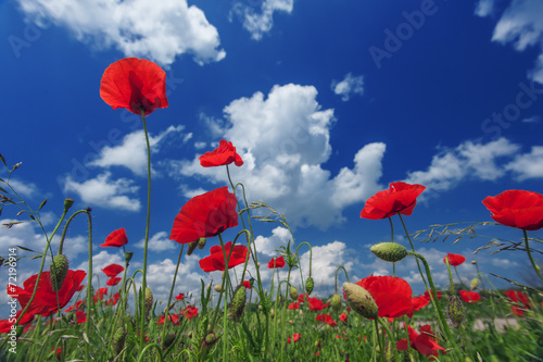 canvas print picture poppy
