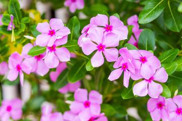 pink vinca flowers