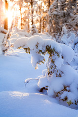 Sunshine in snow covered forest